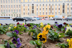 Viola tricolor pansy, flowerbed Stock Images
