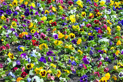 Viola tricolor pansy, flowerbed Stock Photo