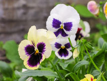 Viola tricolor red blue yellow Pansies on green flowerbed macro closeup. Viola tricolor red blue yellow Pansies green flowerbed macro closeup Stock Image