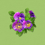Viola tricolor Spring holiday card. Spring Viola tricolor flowers greeting card, poster. Digital Illustration. Spring Holiday green textured background with royalty free illustration