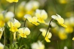 Viola tricolor Violaarvensis Lizenzfreie Stockfotos