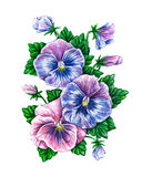 Viola tricolor. Watercolor colorful pansies flowers drawing Stock Photography