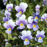 Viola tricolor (Wild pansy) Stock Photos