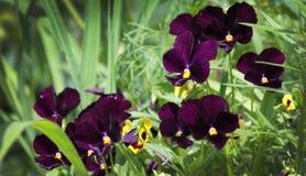 Viola tricolora Foto de archivo libre de regalías