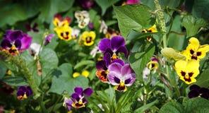 Viola tricolora Imagen de archivo libre de regalías