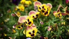 Viola tricolora Imágenes de archivo libres de regalías