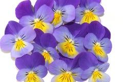 Viola tricolora imagen de archivo