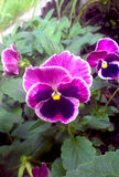Viola tricolora - pensamiento imagen de archivo libre de regalías