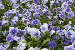 Viola tricolore Fotografie Stock