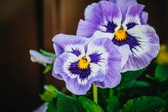 Viola tricolore nel giardino fotografia stock