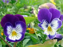 Viola. Two viola in the garden Stock Photography