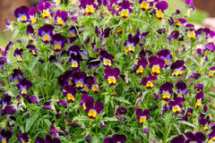 Viola var tricolor del pancy del jardín hortensis aquí visto en una cama de flor Éstos son azules fresco, blanco y amarillo Foto de archivo libre de regalías
