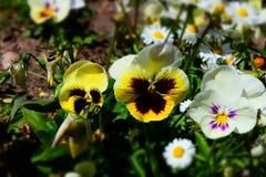 Viola var tricolor hortensis Fotos de Stock