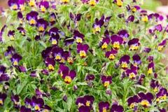 Viola varietà tricolore di pancy del giardino hortensis qui visto in un letto di fiore Questi sono blu fresco, bianco e giallo Fotografie Stock Libere da Diritti