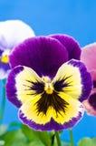 Viola variopinta Immagine Stock