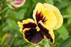 Viola (Viola tricolor) Royalty Free Stock Photos