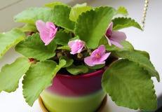 Viola. Violent - a flowering indoor plant Stock Photography
