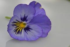 Viola violet yellow macro Stock Photography