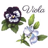 Viola. Watercolor floral background, set of two. Viola, Watercolor floral background, hand drawn violas in purple colors Royalty Free Stock Photography