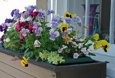 Viola Window Box. A window box filled with multicolored violas Stock Photography