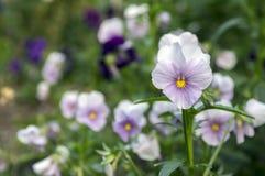Viola wittrockiana Gartenstiefmütterchen in der Blüte, helle Farben stockbilder