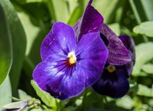 Viola wittrockiana pansy blue flowers with green stock images