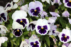 Viola x wittrockiana 'Delta White with Blotch', Pansy Royalty Free Stock Images