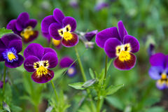 Viola and yellow tricolor pansy Royalty Free Stock Photography