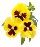 Violablumen lokalisiert auf weißem Hintergrund stockbild