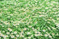 Violacea coloré de zinnia de fleurs blanches fleurissant dans le jardin photographie stock libre de droits