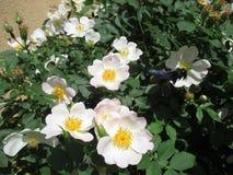 Violacea de Rosa Canina e do xylocopa imagens de stock royalty free