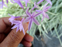 Violacea de Tulbaghia, ail de société, agapanthus rose Image stock