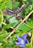 Violacea del xylocopa de la especie de la abeja de carpintero Fotografía de archivo libre de regalías