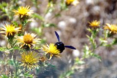 Violacea del Xylocopa en las flores 1 Imagenes de archivo