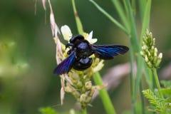 Violacea del Xylocopa, la abeja de carpintero violeta Imágenes de archivo libres de regalías
