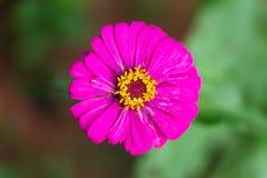 Violacea rosado Cav del Zinnia de la flor del Zinnia Imagen de archivo