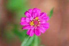 Violacea rosado Cav del Zinnia de la flor del Zinnia Fotografía de archivo