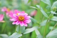 Violacea rose coloré de zinnia de fleurs fleurissant dans le jardin photos stock
