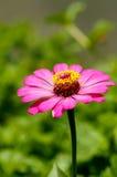 Violacea van Zinnia Stock Fotografie
