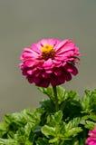 Violacea van Zinnia Royalty-vrije Stock Foto