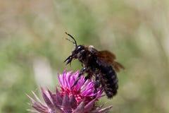 Violacea violeta del Xylocopa de la abeja de carpintero Imagen de archivo libre de regalías