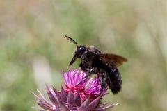 Violacea violeta del Xylocopa de la abeja de carpintero Fotos de archivo libres de regalías
