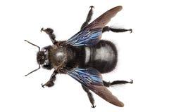 Violacea violeta del xylocopa de la especie de la abeja de carpintero Imagenes de archivo