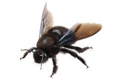 Violacea violeta del xylocopa de la especie de la abeja de carpintero Fotos de archivo libres de regalías