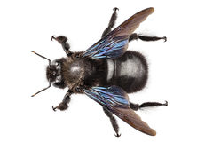 Violacea violeta do xylocopa da espécie da abelha de carpinteiro Imagens de Stock