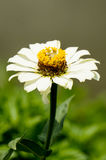 Violacea Zinnia Стоковое Изображение
