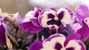 Violaceae. Nice bouquet of purple pansies Royalty Free Stock Photos