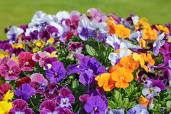 Violaceae tricolor Royalty Free Stock Photo