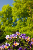 Violaceae. Viola flowers in spring garden flower bed royalty free stock photography