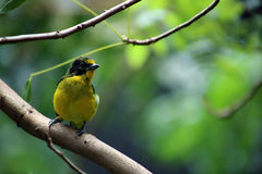 Violaceous Euphonia Royalty Free Stock Image